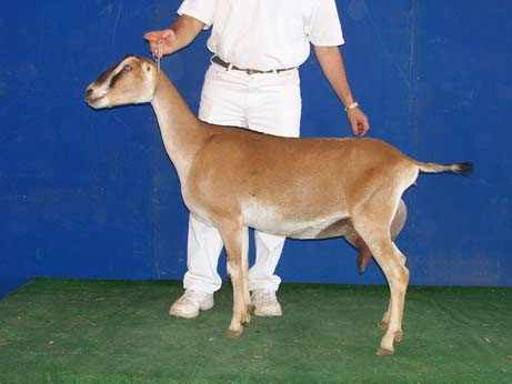 GCH South-Fork Sweet Tease